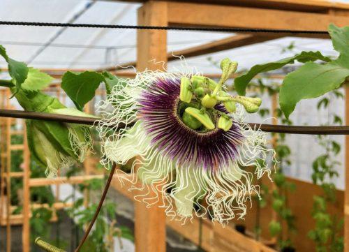 これはうちの旦那が趣味(?)で作っているパッションフルーツの花